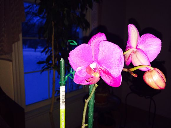 Nature's gift: orchid's blooms @ midwinter...